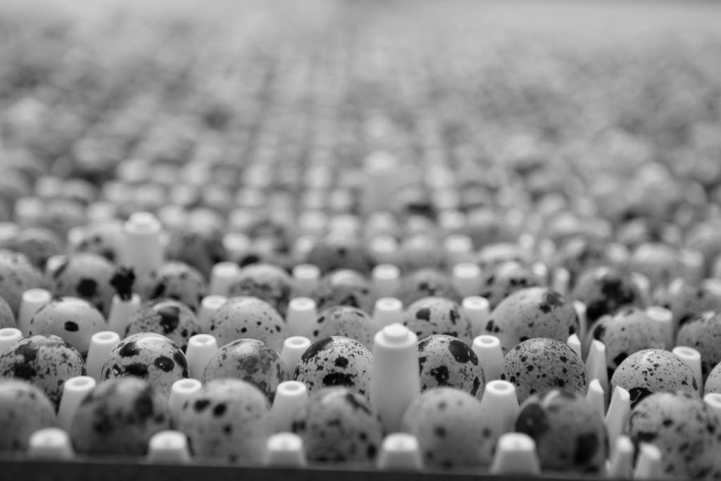 black and white image of quail eggs