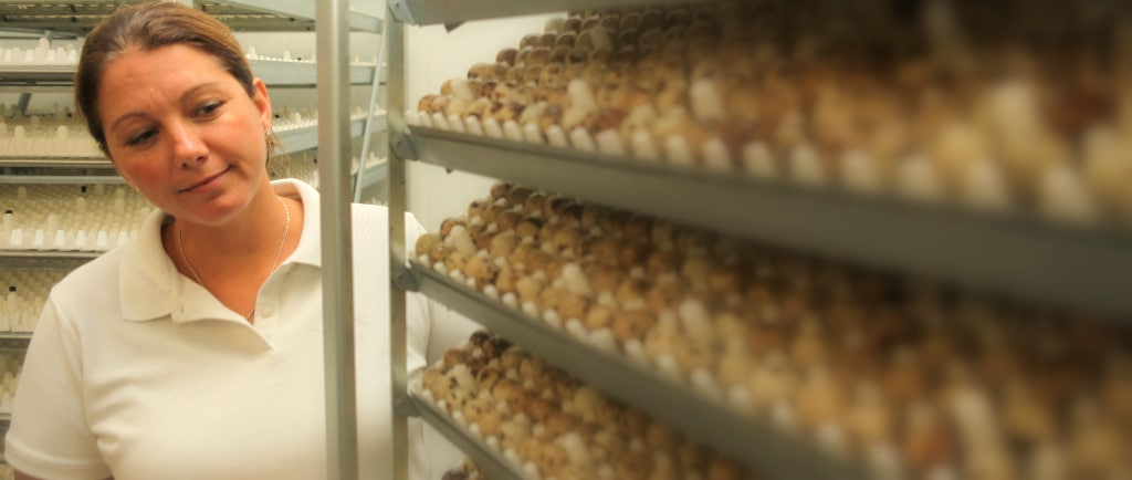 looking over the quail eggs