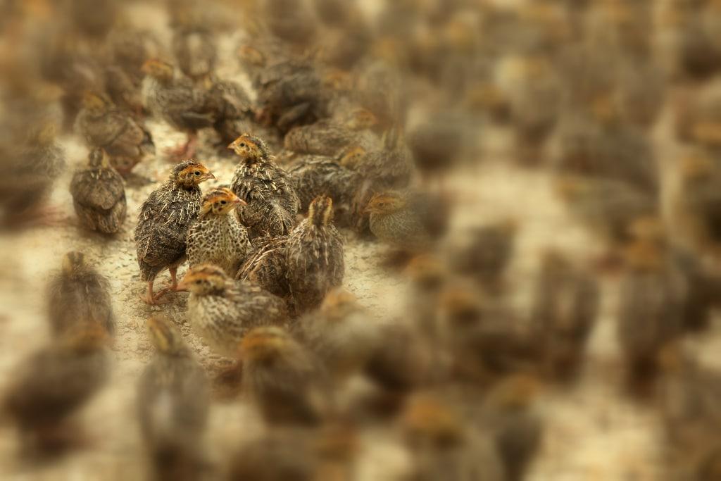 quail hatchlings